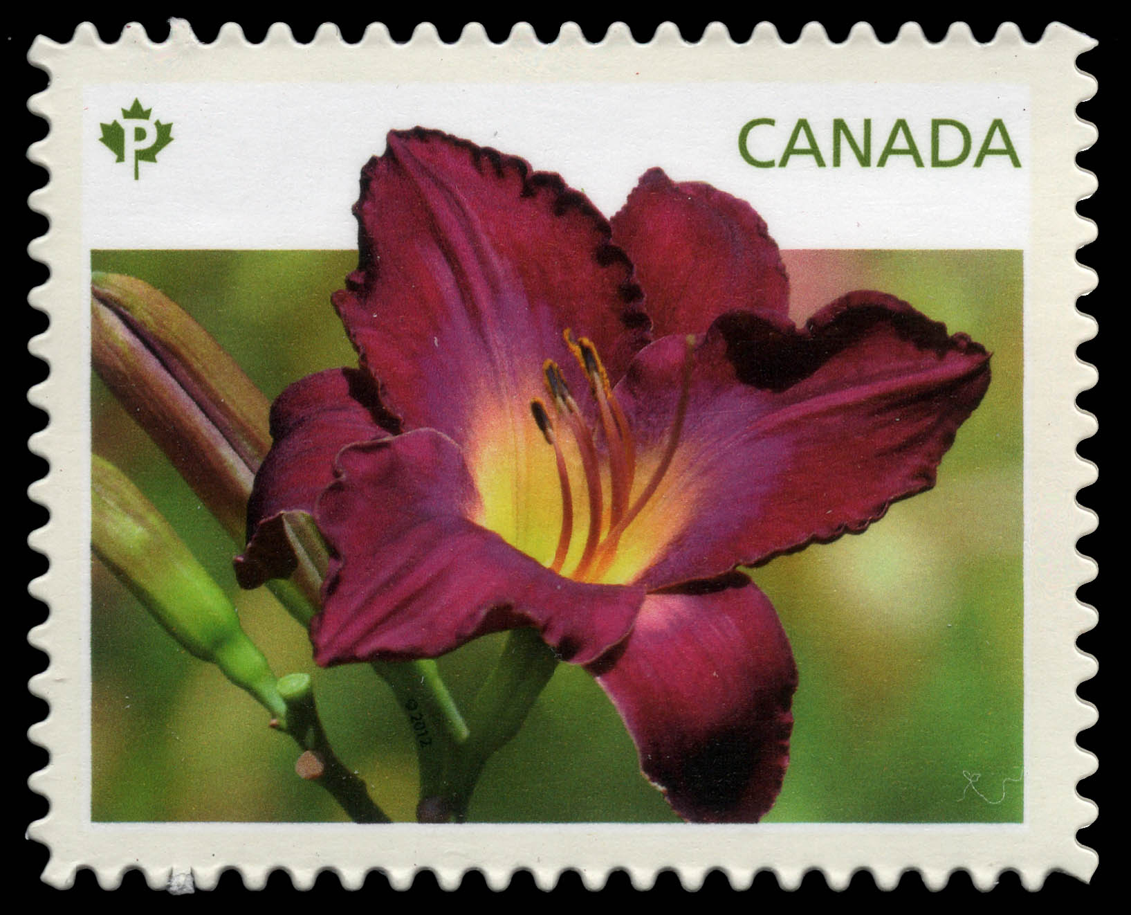 Purple Daylily Canada Postage Stamp