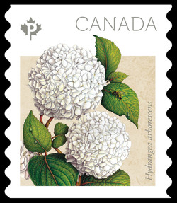 Annabelle Hydrangea - Hydrangea Arborescens Canada Postage Stamp | Hydrangeas