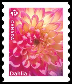 Pink Dahlia - Coil Canada Postage Stamp | Dahlias