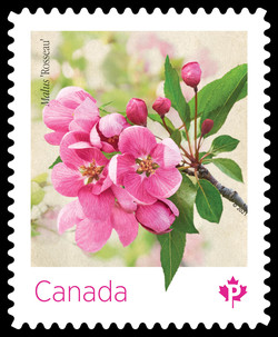 Pink Malus Rosseau Canada Postage Stamp | Crabapple Blossoms